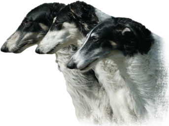 three generations of Gryffyn's Aeyrie Borzoi - Nikki, Arthur and Sassi